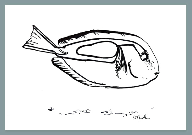 Blue Tang Line Drawing by Cortney North