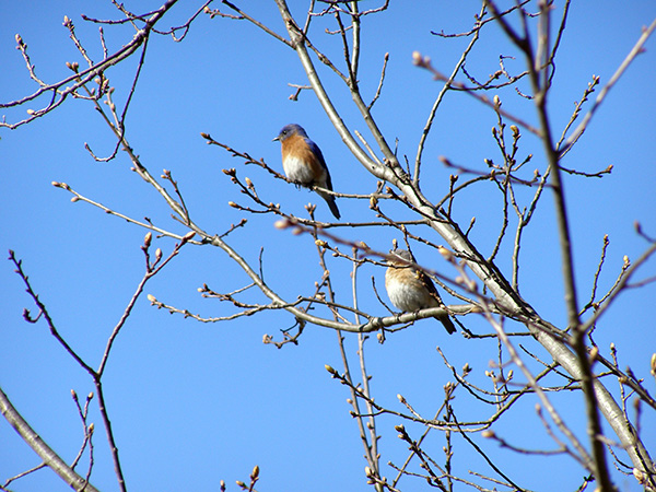 Bluebirds in Ohio by Cortney North