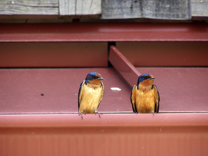 Barn Swallows at Glacier Ridge Metro Park in Columbus by Cortney North